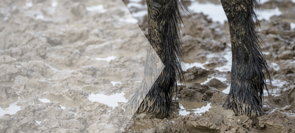 mud fever, rain scald, horses, prevention, treatment, cure