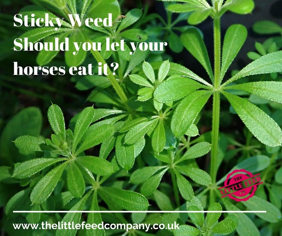 sticky weed goose grass for horses